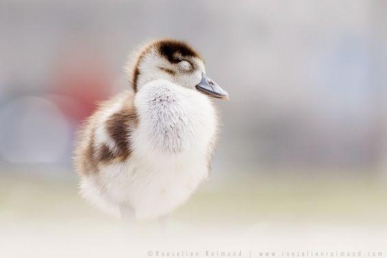 500px 上の Roeselien Raimond の写真 Gosling...just being a gosling