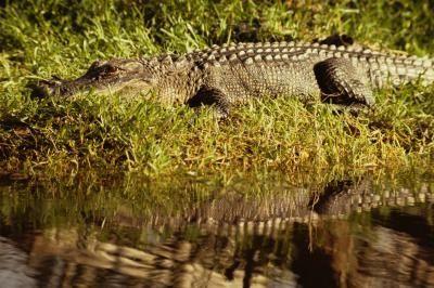How to Make Fried Alligator