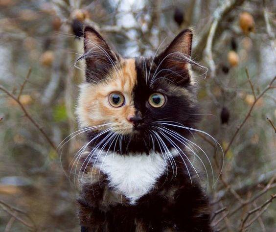 「三毛猫の模様 半分」の画像検索結果