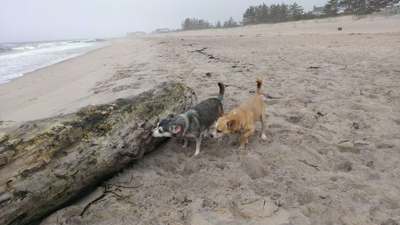 Chip and Rex at the beach in Quonnie