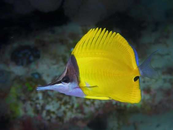 Longnose butterfly fish the image kid for What kind of fish is nemo