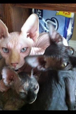 available sphinx kittens#sphynx#haorless#TICA