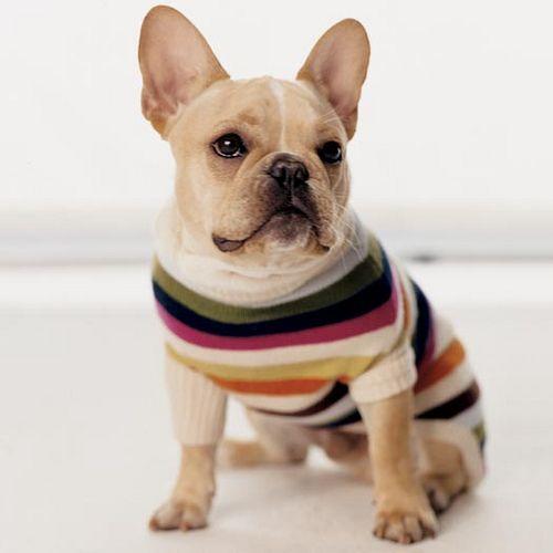 #Frenchie in stripes