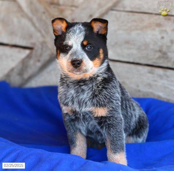 Blue Heeler Puppy for Sale in Pennsylvania Blue Heeler