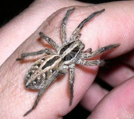 schizocosa mccooki: Wolf Spider. Scary name, but harmless to humans. Kinda' cute even!