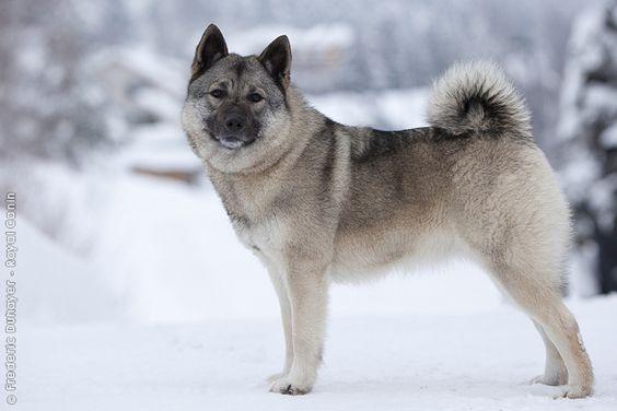 Der Norwegische Elchhund grau ist auf die Jagd von Elchen spezialisiert. Seine Zucht weist für die nordischen Länder typische Merkmale auf, dort werden für diese Art der Jagd Hunde mit einem starken Charakter gezüchtet. Es wird ein Hund voller Energie, ohne Frucht und vor allem mit viel Mut benötigt.