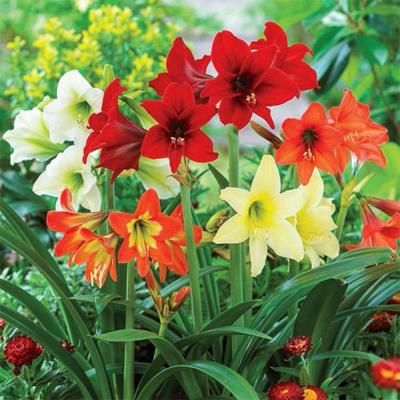 Breck S Hardy Garden Amaryllis Mixed Bulbs 3 Pack 88378 The Home Depot In 2020 Bulb Flowers Plants Amaryllis Bulbs