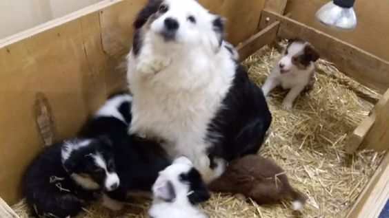 Petition Rspca South Australia Release Of The Border Collies Change Org Border Collie Petition Collie