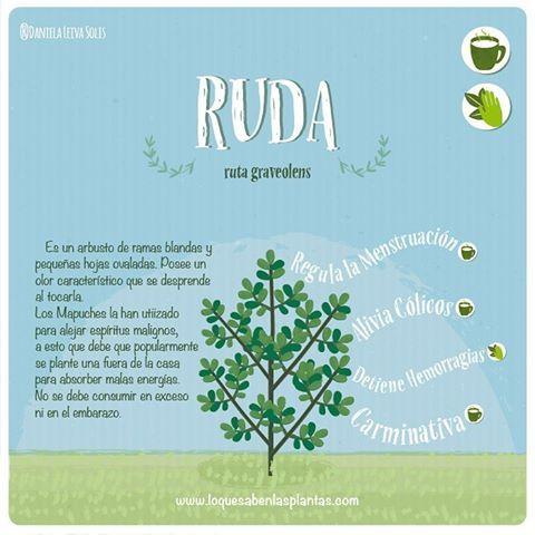 La #ruda es un arbusto que ha sido usado como bloqueo para las malas energias, pero tiene aun más usos.Conócelos! #plantasmedicinales #médicinacomplementaria #arbustomedicinal #regulalamenstruacion #carminativa #ilustracion #plantas