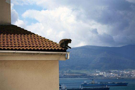 A barbary macaque in Gibraltar