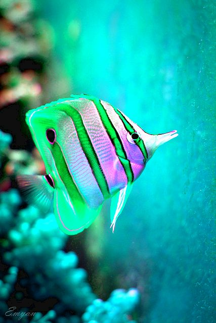 Beautiful stripes and colorful fish on pinterest for Exotic tropical fish