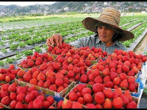 Kebun Strawberry Di Lembang