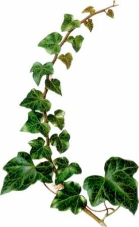 29 Trendy Plants Png Ivy Leaf Photography Ivy Tattoo Poison Ivy Plants