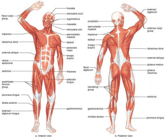 muscular system  human body systems and muscle on pinteresthuman body diagram   human body systems blank diagrams