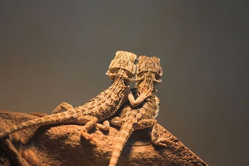 awhhh bearded dragons in luvvv