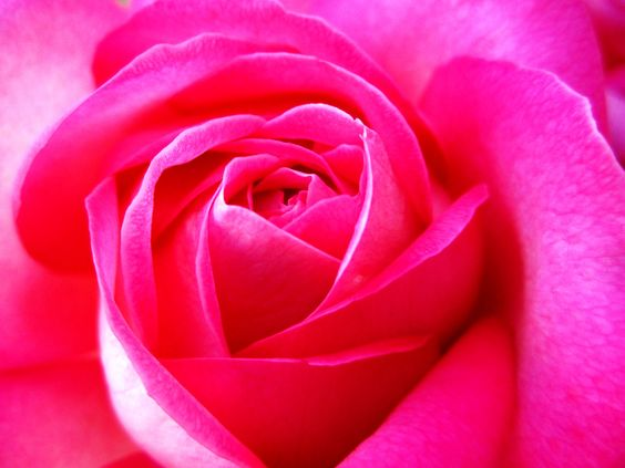Pink is my favorite color and I found the PERFECT rose for my yard