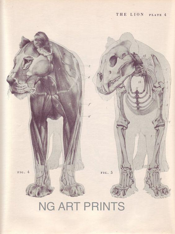 Antique Lion Print, Large Vintage Animal Print, Animal Anatomy, Lion ...