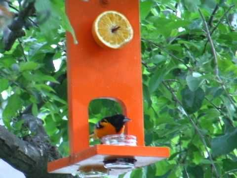 Baltimore Oriole eating from my homemade feeder