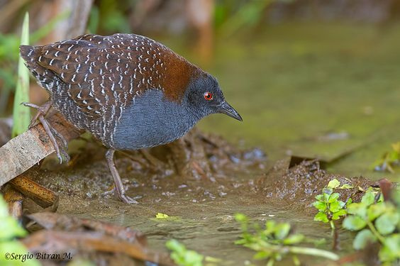 Laterallus jamaicensis - Black Rail