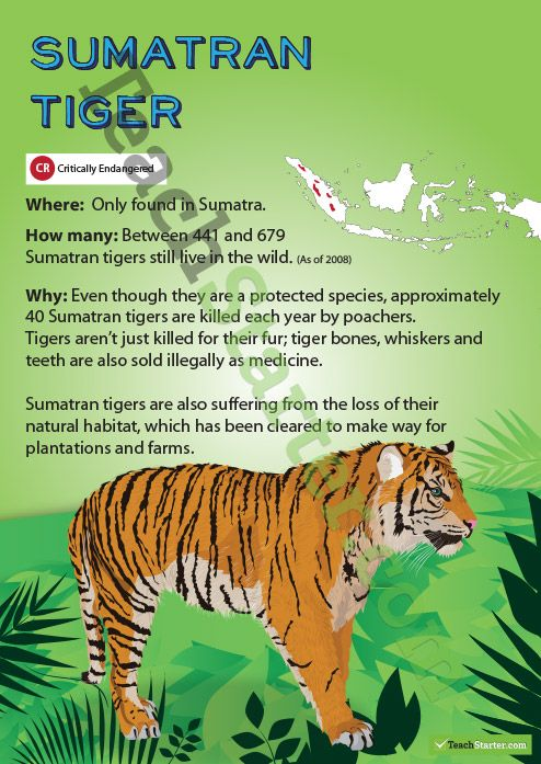 tiger extinction research paper Category: essays research papers title: siberian tigers my account siberian tigers length: 513 words the siberian tiger is endangered mainly because of poaching.
