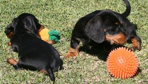 Dachshund Puppies For Sale Glendale Az Dachshund Puppies