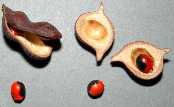 Ormosea coarctata