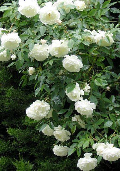'Iceberg' Floribunda Rose - to say this rose is prolific is an understatement. Plant one and you'll never regret it.