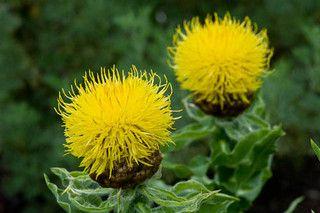 100618 647 Centaurea Macrocephala Jpg Flowers Sea Holly Plants