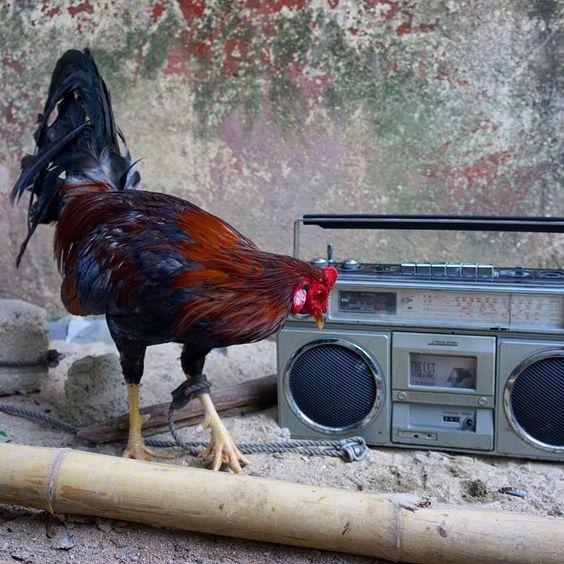 Hen Blaster #superattractiveghettoblaster #sagb #ghettoblaster #boombox #hen #chicken #bali #ubud #indonesia