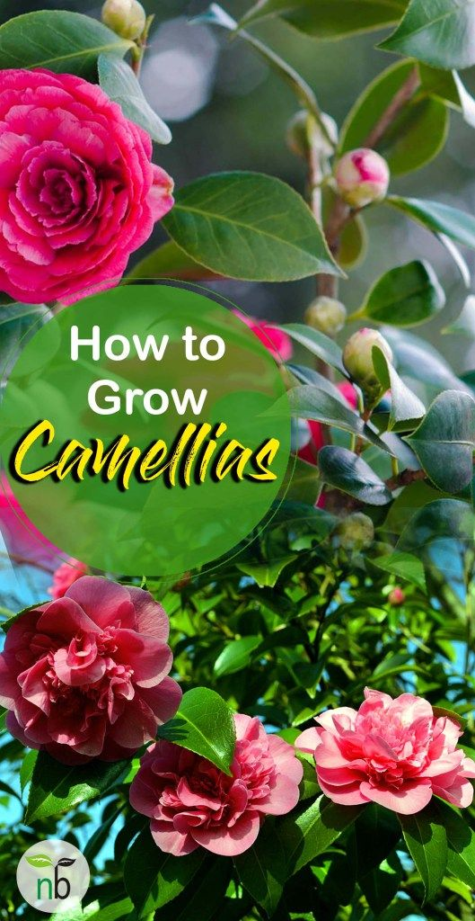 How To Grow Camellia Growing Camellia Plant In A Container Naturebring Camellia Plant Gardening For Beginners Beautiful Flowers Garden