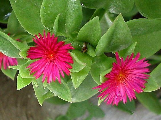 بذور الصبار الإسرائيلي ليس صبار ولا اسرائيلي Rose Seeds Flowers For Sale Ground Cover