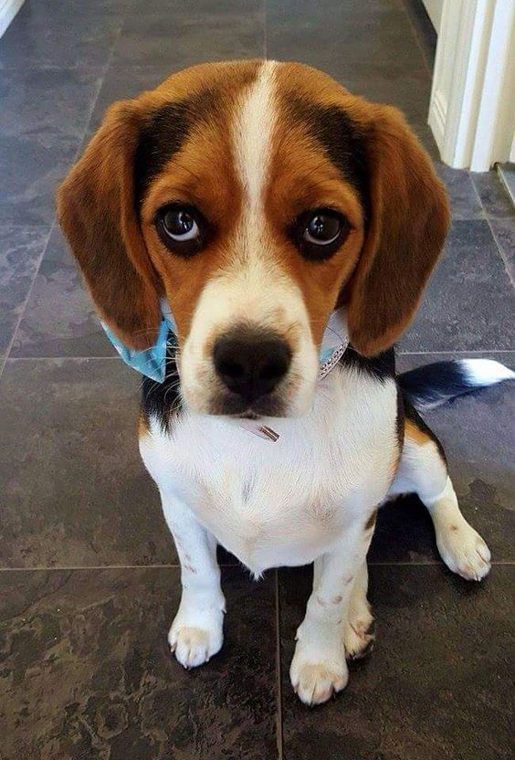 """Beagles have the best """"puppy eyes"""""""