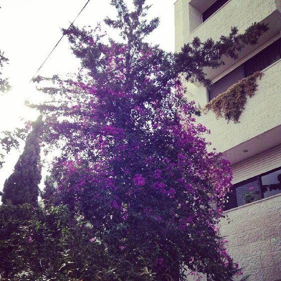 #purple #flowers #tree #Amman #Jordan