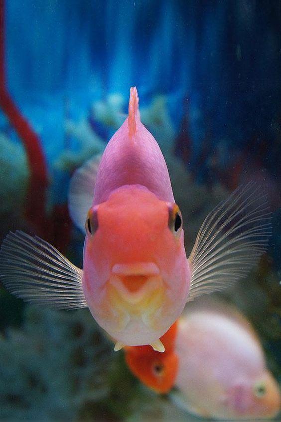 fishy kiss~(parrot fish)