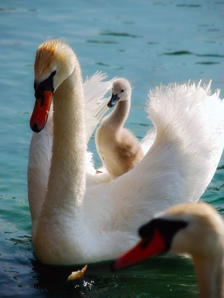 Swan carrying her baby. #swan #birds: