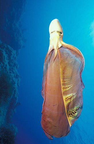 "Blanket Octopus - found in the open seas of the Mediterranean and the N and S Atlantic Ocean. The ""blanket"" is a defense mechanism, as they do not have ink to ward off predators. It will unfurl its blanket, making it look significantly larger and intimidating. It is immune to the poison of the Portuguese man o' war, known for its deadly venom. Taking advantage of their immunity, Blanket Octopuses will rip off the Man o' war's tentacles and use them to defend themselves from attacks."