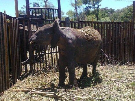 Zimbabwe must stop its sale of wild baby elephants   Pachyderm Magazine   Scoop.it