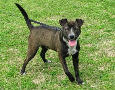 Lebanon TN: Shelter dogs Whippet/Lab and 2 Boxer mixes. Wed 5/7 will be LAST DAY! NO EXTENSIONS!!!