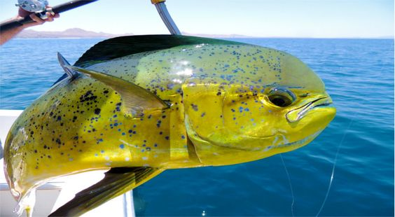 Top Ten Salt Water Fish | Here's our picks for the top 10 saltwater game fish species sought ...