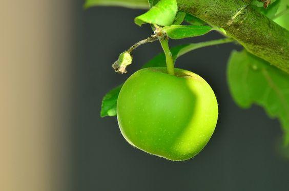 Apple, Manzana Verde, Árbol, Manzano, Kernobstgewaechs