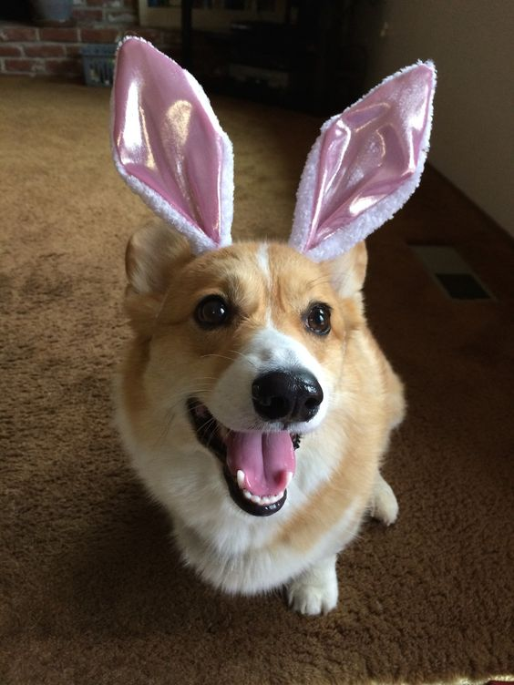 The happy happy Easter Corgi | Corgi Of Course 2 ...