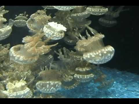 ▶ Jellyfish reproduction - YouTube