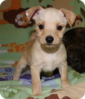 West Highland Terrier Mix Puppies west highland white te...