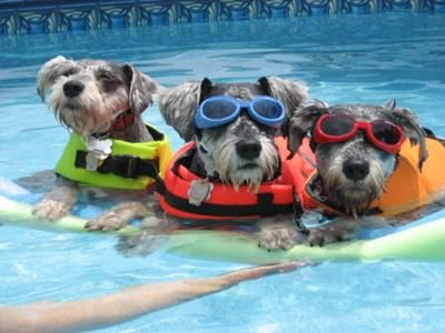 Schnauzer trio swim time for this litter pack of 2 for Pack swimming
