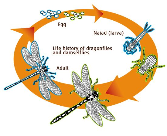 Damselfly life cycle. | Isopod: An online study guide ...