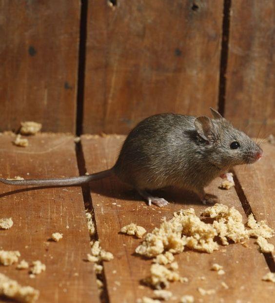 Du pl tre de la farine et de l 39 eau un raticide conomique vos astuces pour se d barrasser - Se debarrasser des rats ...
