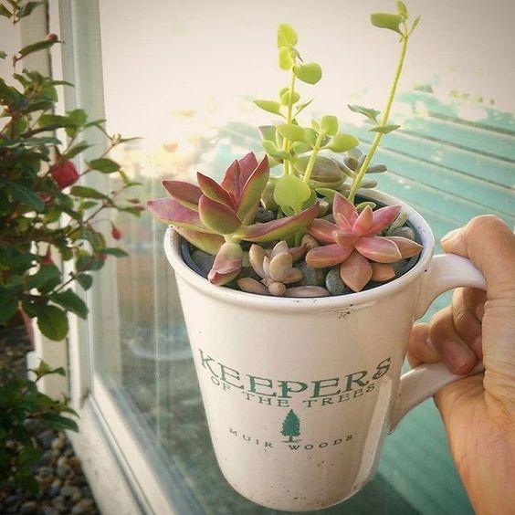 Drink up! 🤔🌵☕ #mugofsunshine #succulents #potsnplants #muirwoods