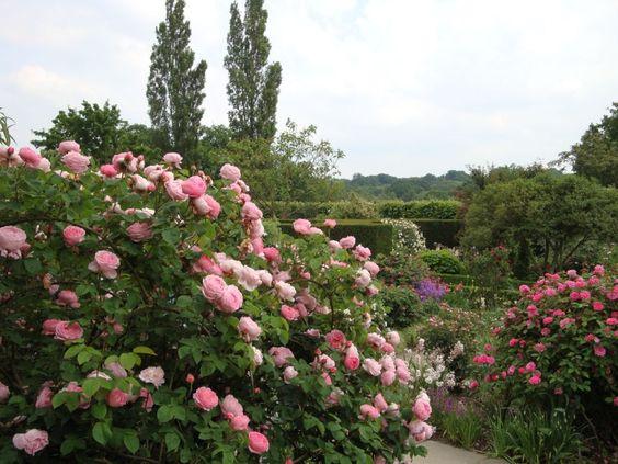 L'Assommoir Sissinghurst Roses 🌿 💐 🌾