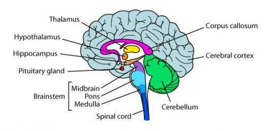 Labeled Diagram Of The Brain Elegant Simple Diagram Of Brain In 2020 Brain Diagram Brain Quiz Human Brain Diagram