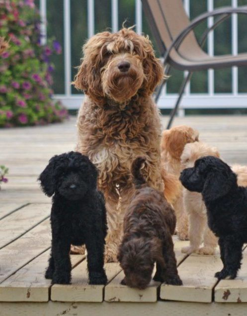 15 Poodles Mixes A Collection Of Curly Companions Poodle Mix